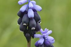 Muscari atlanticum